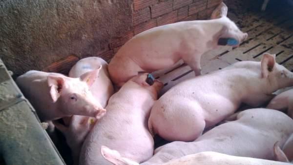 Investigación sobre ganadería porcina como indicador de salud