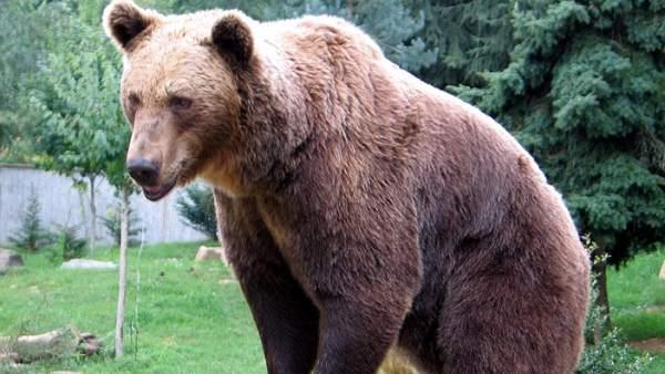 La vuelta del oso pardo al Pirineo, la polémica que nunca cesa