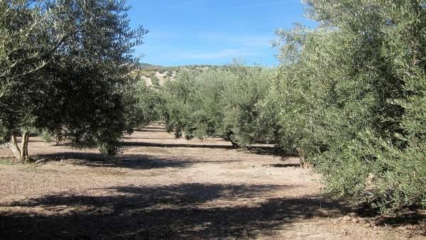 Olivar en Jaén.