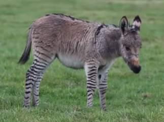Híbrido de cebra y burro
