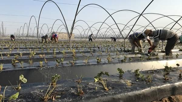 Plantación de la fresa en Huelva.