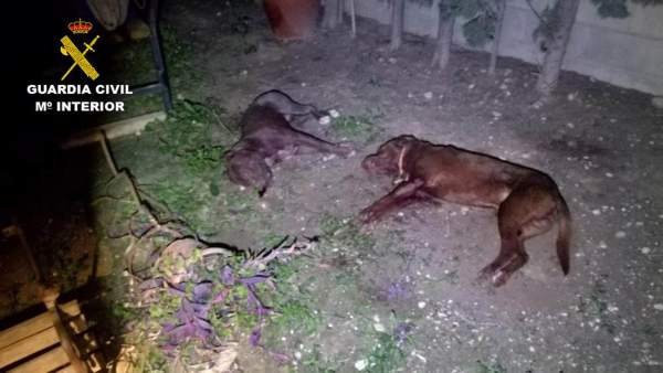 La Guàrdia Civil abat un pit bull que va entrar en una finca de Crevillent i va matar un gos
