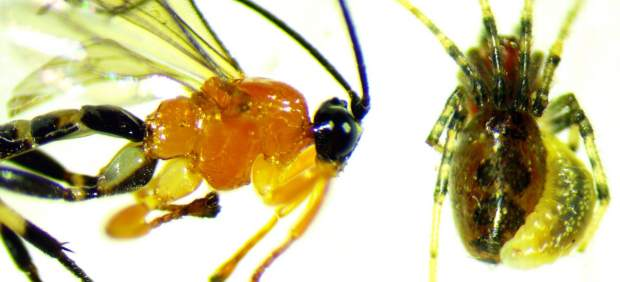 Avispa de la especie Zatypota