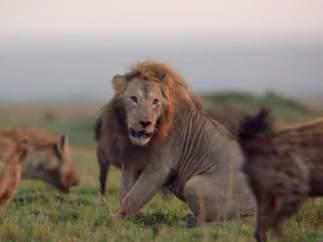Un león, acorralado por hienas