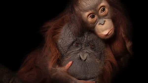 Bebé orangután de Borneo. Joel Sartore