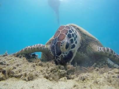 Los microplásticos afectan a todas las especies de tortugas marinas