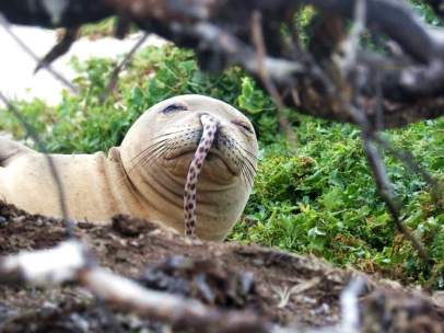 Una foca monje hawaiana