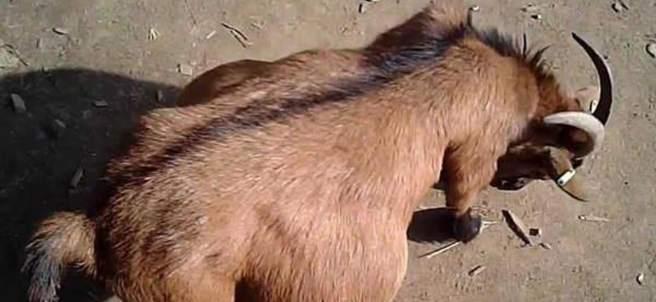 Cabra embarazada