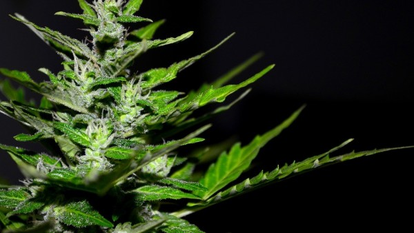 un-hombre-denuncia-en-una-comisaría-la-mala-calidad-del-cannabis-comprado