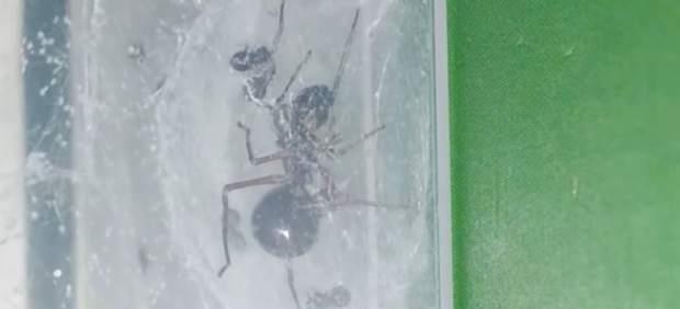 Descubren una araña que produce leche y cuida de sus crías