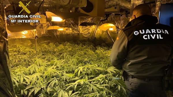Plantación de marihuana en Hontoba