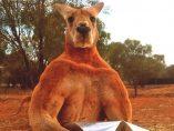 Roger, el canguro culturista