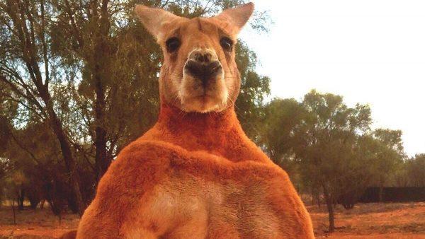 Muere Roger, el canguro culturista