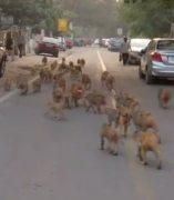 Invasión de monos en Nueva Delhi