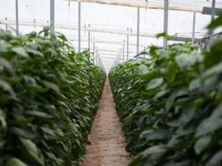 Plantación en un invernadero