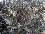 Alivas, aceite, aceituna, cosecha