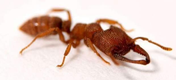 La hormiga Drácula es el animal que realiza el movimiento más rápido del mundo: muerde a 320 km/h