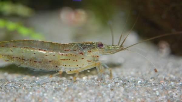 Un camarón (Litopenaeus vannamei)