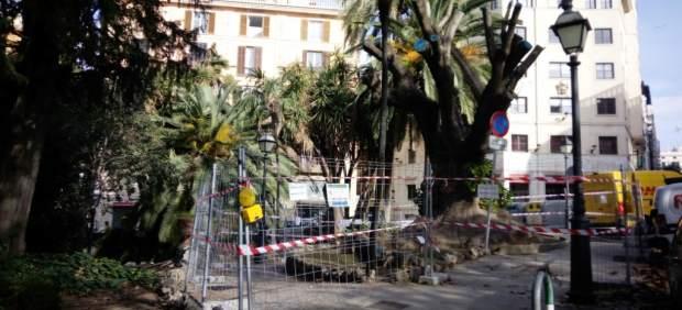 Cort establece un nuevo perímetro de cierre para el árbol bellasombra de la Plaza de la Reina