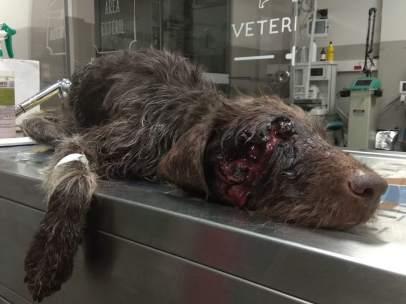Perro abandonado con un tiro en la cabeza