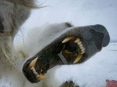 Un oso polar intenta romper una jaula de cristal que protege a un cámara