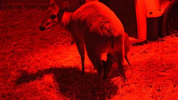 Una cria de l'antílop amenaçat Duiquer roig naix al Bioparc com el millor regal d'Any Nou