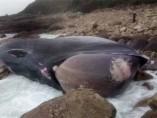 El cadáver de la ballena varado en las rocas del municipio de Oia