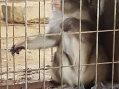 Un dels macacos recuperats