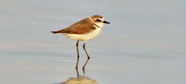 El chorlitejo patinegro, una especie propia de playas y humedales, elegido el Ave del Año 2019