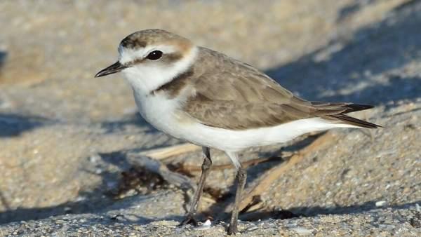 Chortilejo patinegro, elegida Ave del Año 2019 por SEO/BirdLife