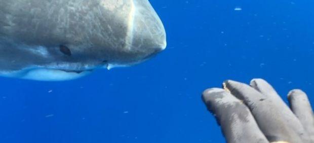 Graban al legendario tiburón blanco de seis metros nadando con buzos en Hawai