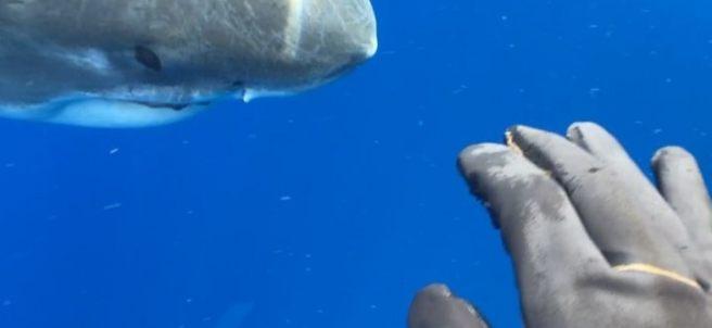Graban a un tiburón de 6 metros nadando con buzos