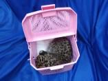 Cria de leopardo