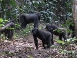 Gorilas de llanura