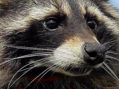 Resultado de imagen para Departamento de Salud de Nueva York alerta sobre presencia de mapaches