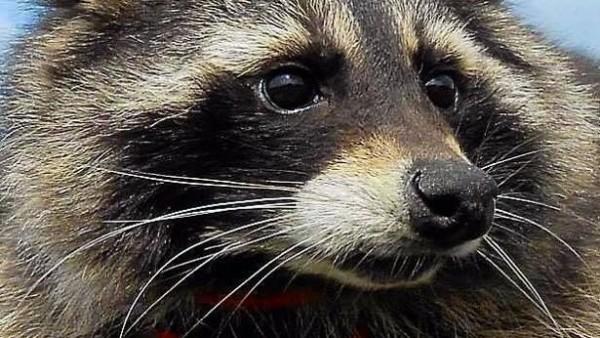 Oreo, el mapache en el que se inspiró el personaje de Rocket Raccoon
