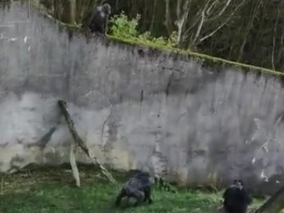 Chimpancés escapan del zoo