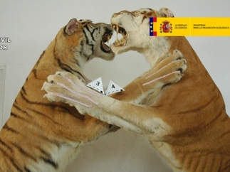 Una pareja de tigres