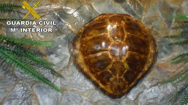 Caparazón de una tortuga boba