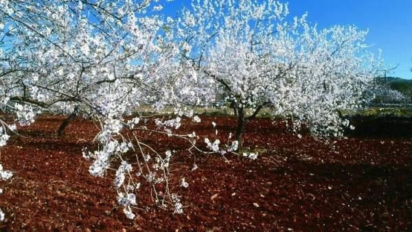 Almendros en flor en el Algarve