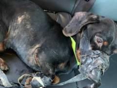 Estado del perro abandonado en un contenedor al ser encontrado por la Policía.