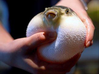 El pez globo pierde su 'encanto mortal'
