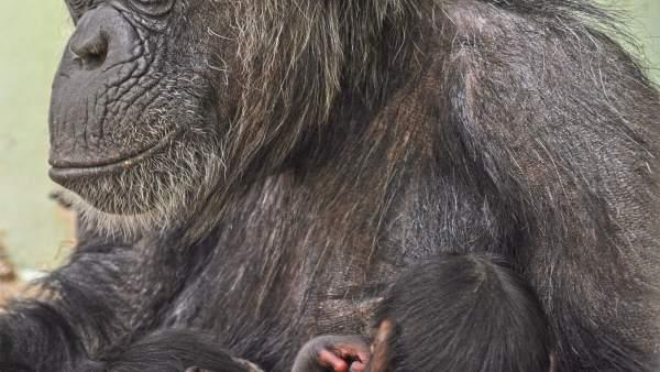 Naixen dos bessons de ximpanzé a Bioparc València