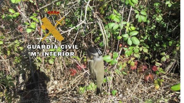 Pájaro muerto en una trampa de costilla