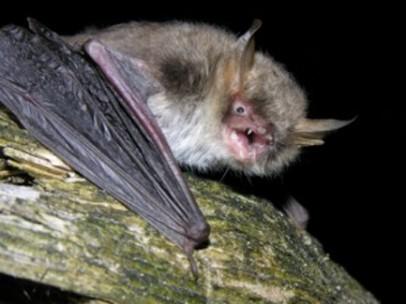 nueva especie de murciélago