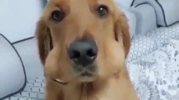 Un ladrón canino con poca experiencia