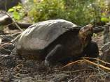 Tortuga Chelonoidis Phantastic