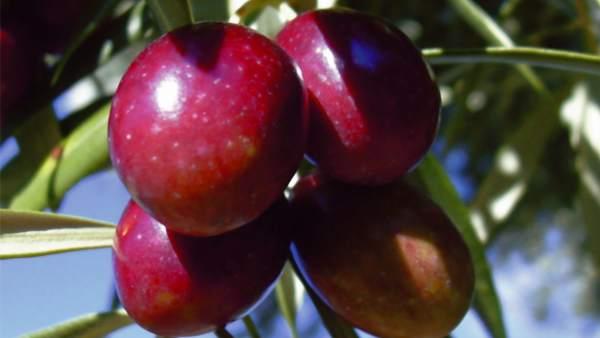 Aceitunas de la variedad Royal, autóctona de la Sierra de Cazorla.