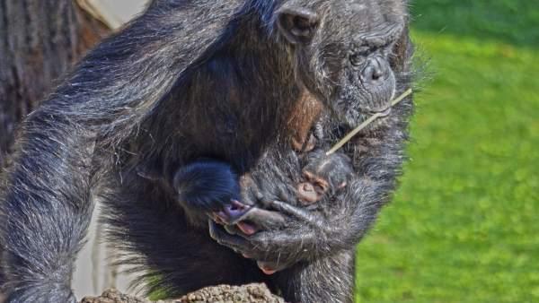 """Els """"nadons"""" bessons de ximpanzé comencen a eixir aquest cap de setmana en Bioparc"""