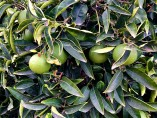 Mandarinas árbol